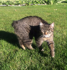 MISSING: Gray Manx Cat, No Tail Female Springfield and Gerstmar