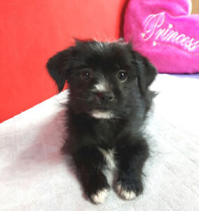 Pomchi mix puppies - tiny size, great for kids
