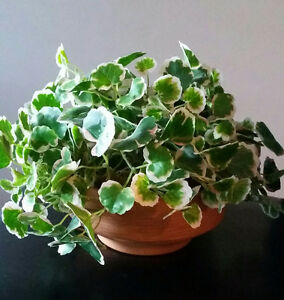 Silk small leaf plant in clay pot