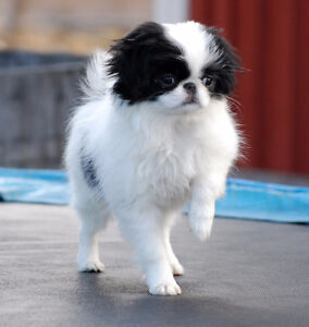Looking For: Japanese Chin Puppy