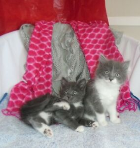 Cute Russian Blue x kittens ready to go to new homes