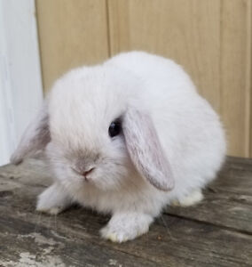 Purebred Holland lop bunnies