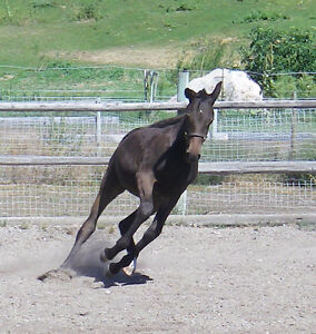 Gorgeous sporthorse filly!