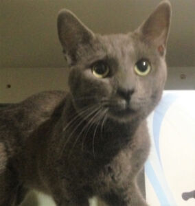 FOUND RUSSIAN BLUE looking  MALE CAT