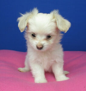 Litter of 5 puppies Papillon X Maltese dreamy soft and plush