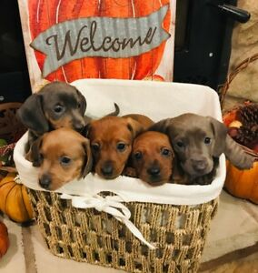 Mini Dachshund Puppies - ONLY 2 LEFT