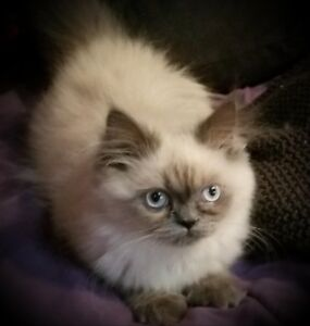 *** Purebred Female Himalayian Kitten ***