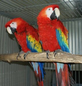 Scarlet Macaw Proven Breeding Pair