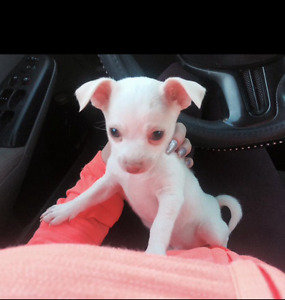 White chihuahua puppy for sale