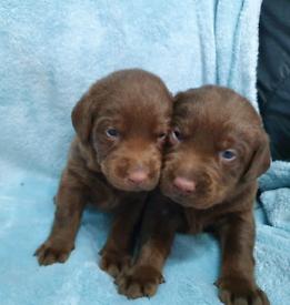 KC Registered Pedigree Chocolate Labrador Pups