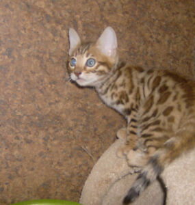 BENGAL KITTENS TICA REGISTERED (2 Males,1 Female Avail.)