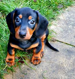 Daschund puppies