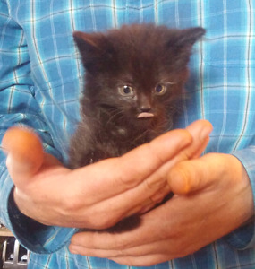 2 adorable home raised black (with some white) FEMALE kittens