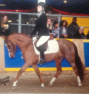 Wanted-Hunter Horse to Buy