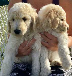 Standard Poodle Pups: Ready Friday:)  Where did the time go?!