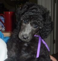 Silver Standard Poodle Puppies for sale