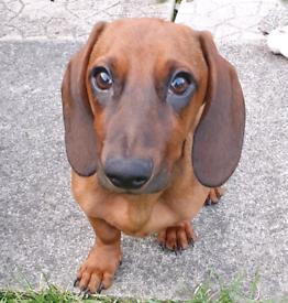 amazing dachshund
