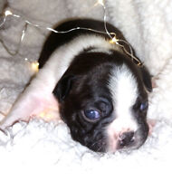 Beautiful Boston Terrier Puppies for sale