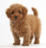 Wanted:Looking for teacup/toy poodle