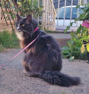 "LOST FLUFFY GREY CAT ""TUFFY"" reward offered"