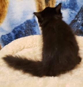 Beautiful Long & Short Haired Kittens - shots ** NEW PRICE **