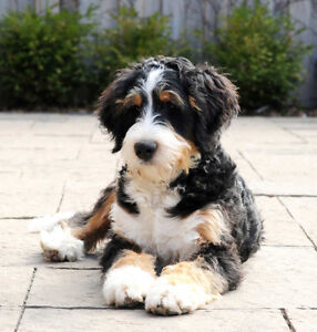 Looking for a Bernedoodle puppy!