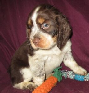 Springer Spaniel | Adopt Dogs & Puppies Locally in Ontario