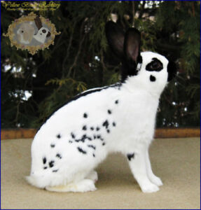 Beautiful English Spot Bunny Available