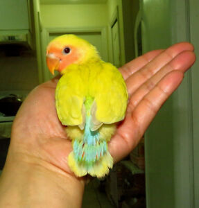 SUPER TAME handfed baby lovebird (peachface lacewing)==ON HOLD