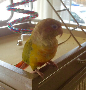 Looking for a companion for our pineapple conure