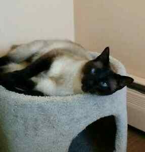 Siamese cat still missing