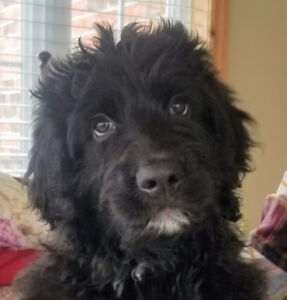 Bernedoodle Puppy Ready for New Home