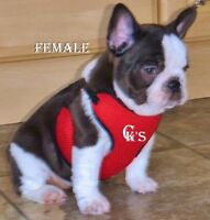 CHOCOLATE Pied, Reg'd French Bulldog pup, Expecting BLUES