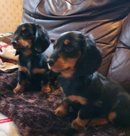 2 long haired dachshunds for sale
