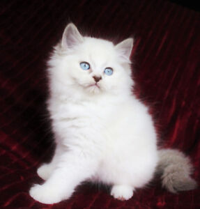 Beautiful Ragdoll Babies are Ready for Rehoming
