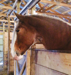 Registered Clydesdale Mare