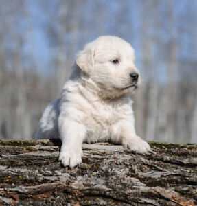 Purebred English Cream Golden Retriever Puppies.