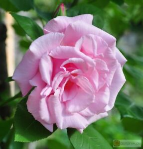 rose MME Gregoire Staechelin climber fragrant potted