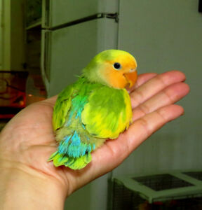 super tame handfed lovebird baby BOY(orangeface) ==ON HOLD