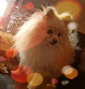 Expecting Planned Pomeranian Puppies