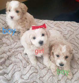 W Ultra Maltipoo | Dogs & Puppies for Sale - Gumtree RV57