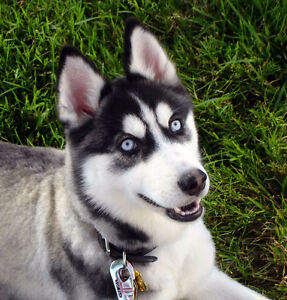 Wanted: Male Husky Puppy