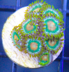 salt water coral frags chalice zoas for sale