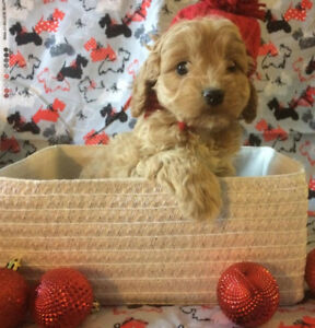 Toy Cockapoo Puppies