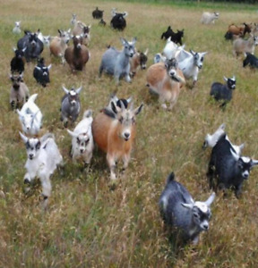 Up coming West African Pygmy goats