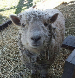 Olde English Baby Doll Sheep