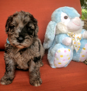 Rare NEWFY-POO Puppies
