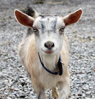 Grimsby Goat Yoga is Here! Hamilton Niagara's Premier Goat Yoga