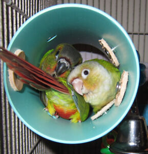 ❤️⭐❤️Baby⭐Conures Available with Cage❤️⭐❤️