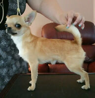 Young smooth coat chihuahua males